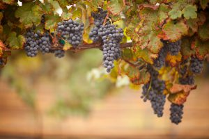 Grapes on theVine
